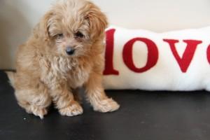 PomaPoo Puppy